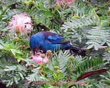 Blue Dacnis Gathering Nectar