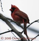 Male Cardinal on a tree near home