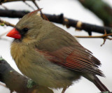 Female Cardinal on the Mulberry Tree
