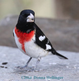 Rsoe Breasted Grosbeak with Seed