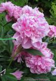 Peonies opening in my garden