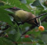 Cedar Waxwing in the Cherry Tree