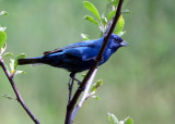 Indigo Bunting Male at Moody Hill