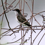 Kingbird on the Connecticut River