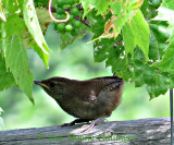 Mother Wren (house)