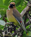 The Cedar Waxwings Have Returned