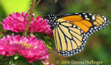 Aster with Monarch Butterfly