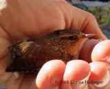 Winter Wren in my hand