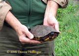 Wood Turtle from the road
