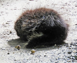 Porcupine in the Middle of Turnpike Road