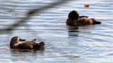 Two Ring-necked Ducks immatures