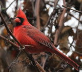 Cardinal on the Vine