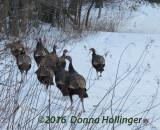 Wild Turkeys Foraging