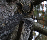 Great Horned Owl Female Awake