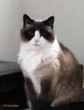 Classy Blue Eyed Lilicat