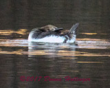 Immature Hooded Merganser Bending his head backwards