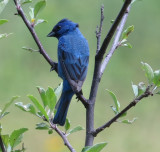 Male Indigo Bunting at Vershire