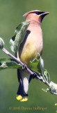 Cedar Waxwing on the Apple Tree