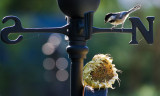 Black Capped Chickadee_bokeh.JPG