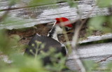Pileated Woodpecker - Close-Up