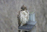 Immature Red-shouldered Hawk