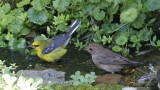 Blue-winged Warbler and Indigo Bunting