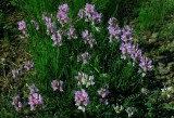 Astragalus distortus var. distortus