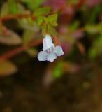 Clinopodium nepeta