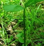 Arisaema dracontium
