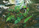 Myriopteris alabamensis
