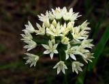 Allium canadense var. canadense