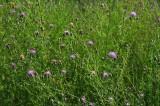Centaurea macula