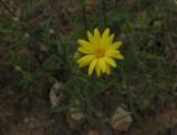 Croptilon hookerianum var. validum