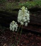 Amianthemum muscaetoxicum