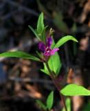 Cuphea viscoisissima