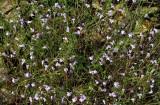Clinopodium arkansanum