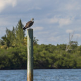 Osprey Resting