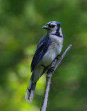 Birds of North America II