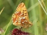 Årets fjärilar 2013  -  Butterflies and moths 2013