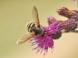Bandad barrblomfluga - Megasyrphus erratica