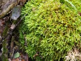 Isothecium alopecuroides - Råttsvansmossa - Larger Mouse-tail Moss