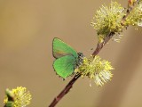 Grönsnabbvinge - Callophrys rubi - Green Hairstreak