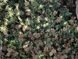 Marchantia polymorpha ssp. ruderalis - Lungmossa - Common Liverwort
