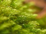 Mnium hornum - Skuggstjärnmossa - Swan's-neck Thyme-moss