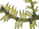 Lepidozia reptns - Fingermossa - Creeping Fingerwort