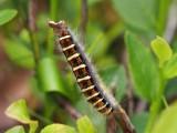 Hagtornsspinnare - Trichiura crataegi - Pale Eggar