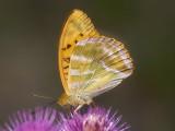 Silverstreckad pärlemorfjäril - Argynnis paphia - Silverwashed Fritillary