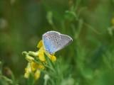 Silverblåvinge - Polyommatus amandus - Amandas Blue
