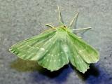 Dagfjärilsmätare - Geometra papilionaria - Large Emerald