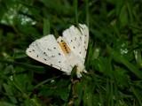 Vitprickig tigerspinnare - Spilosoma lubricipedum - White ermine